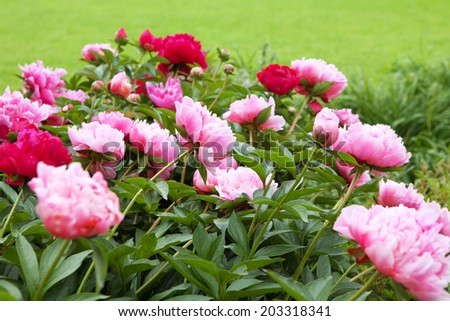 peonies on the green field in summer - stock photo