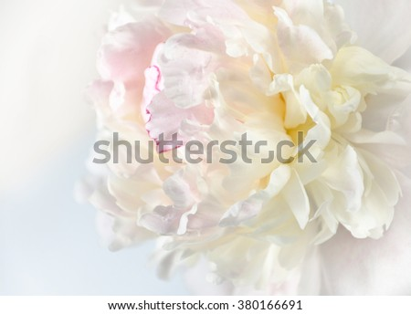 Peony background. Beautiful peony flowers in sun blure and light rays