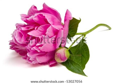 Peony blossom isolated. - stock photo