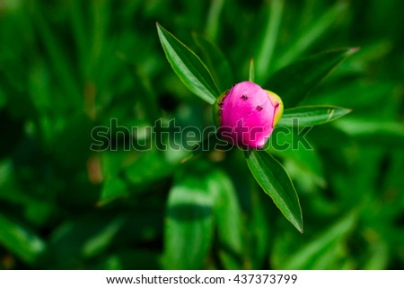 Peony buds with pink flower background - stock photo