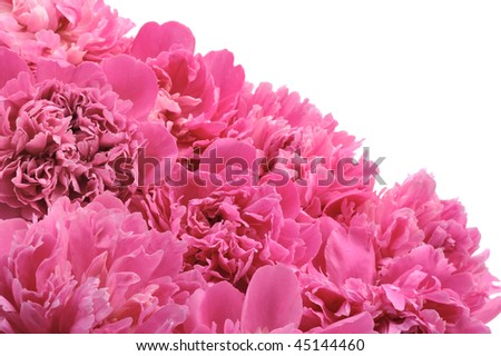 Peony flower heads over white background