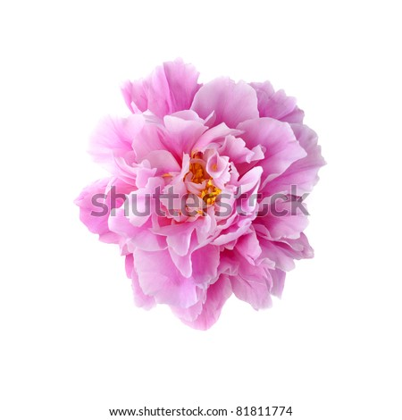Peony flower isolated on white background - stock photo