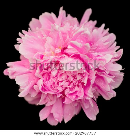 Peony flower macro view isolated on black background  - stock photo