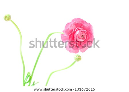 Peony flower with two buds over white background