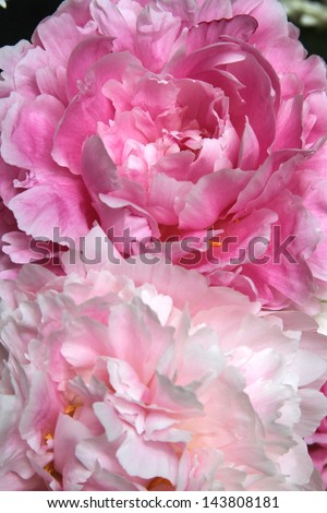Peony flowers - stock photo