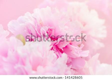 Peony flowers background - stock photo