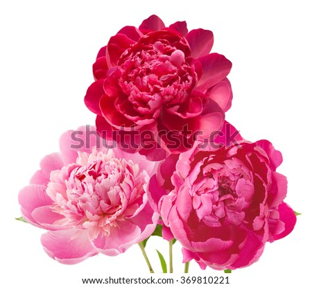 Peony flowers bunch isolated on white background - stock photo