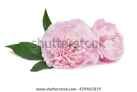 Peony flowers isolated on white background - stock photo
