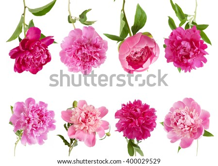 Peony flowers set isolated on white background - stock photo