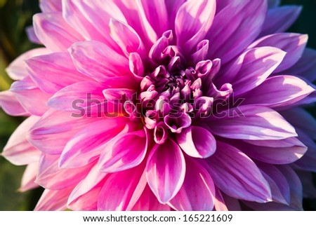 Peony In Bloom. Closeup view of a pink peony flower. The peony is the state flower of Indiana. - stock photo