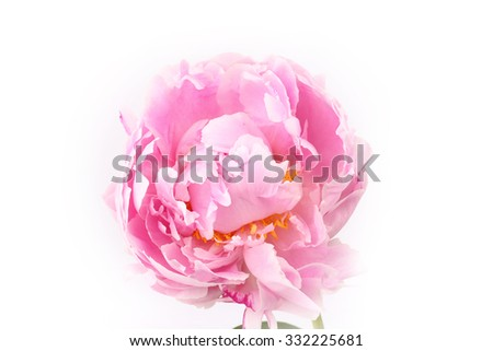 Peony isolated on a white background light pink
