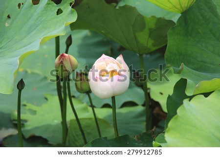 Peony Lotus buds and leaves,beautiful white with pink lotus buds growing in the pond in summer  - stock photo