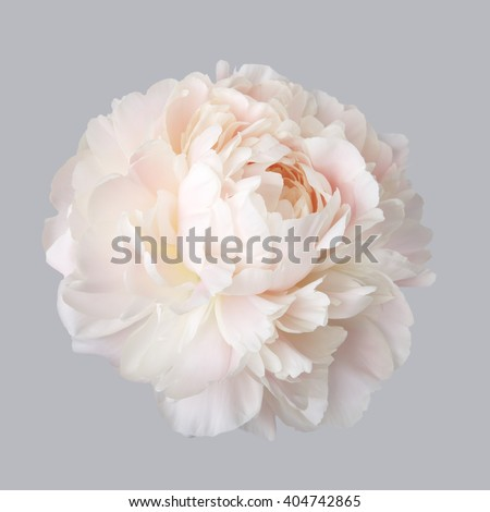 Peony pale pink color isolated on a gray background - stock photo