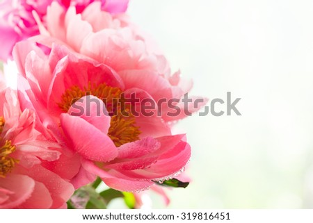 Peony petals with dew drops, delicate floral background with copy space - stock photo