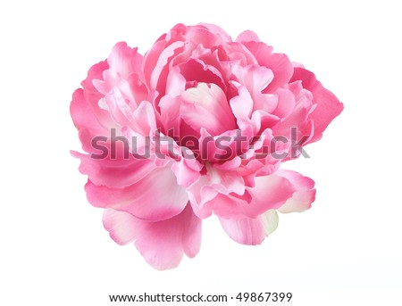 Peony single flower isolated on white background - stock photo