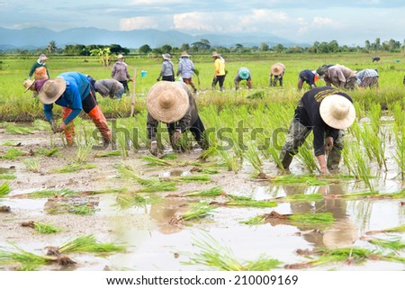 People farmers planted rice seedlings in a field, rural areas and natural.