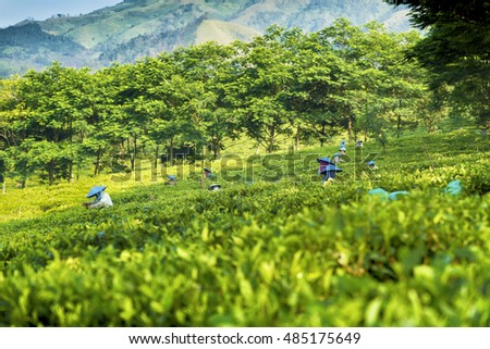 People picking green tea on plantation in Java,  Indonesia
