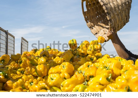 People picking peppers on agriculture field