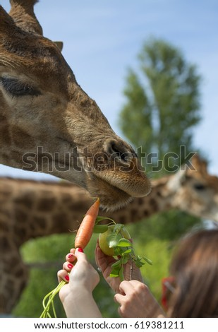 People's hands reaching out fruits and vegitables for a giraffe to eat in safari park