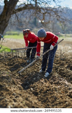 People sowing potato tubers into the plowed soil - stock photo