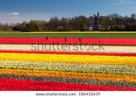 People standing in tulip fields with windmill near Lisse, Netherlands - stock photo