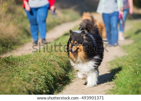 people walking with collie dogs in the country