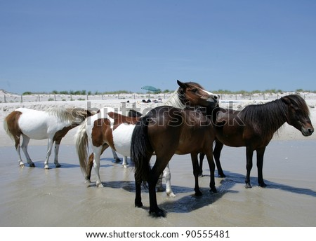 People watch the wild ponies of Assateague Island. Assateague Island is a 37-mile long barrier island located off the eastern coast of Maryland and Virginia, and is home to more than 100 wild equines - stock photo
