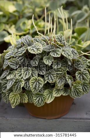 Peperomia caperata. Houseplant - stock photo