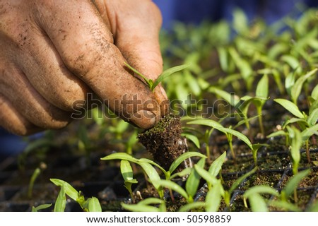Pepper cultivation - stock photo