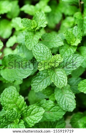 Pepper mint leaves in garden - stock photo