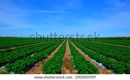 Pepper on the field with green leaves against the sky. - stock photo