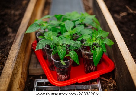 pepper seeding in greenhouse - stock photo
