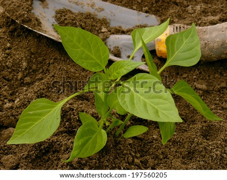 pepper seedling and small shovel on vegetable bed - stock photo