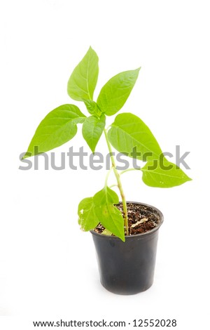 Pepper seedling in transplant pot on a white background