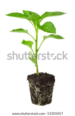 Pepper seedling isolated on white background - stock photo