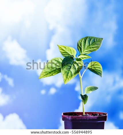 Pepper seedling on blue cloud sky