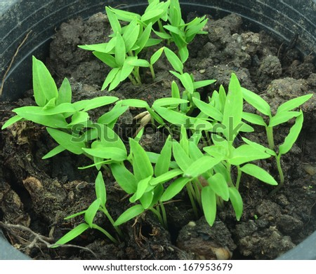 Pepper seedlings - stock photo