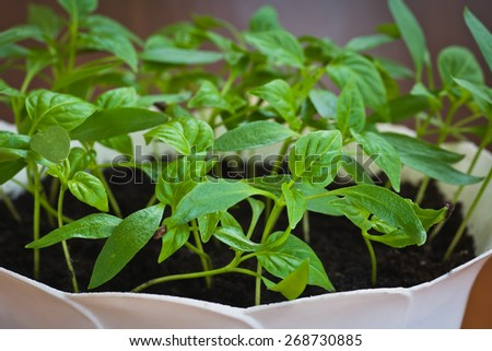 pepper seedlings in boxes in the village - stock photo