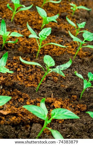 pepper seedlings in the ground - stock photo