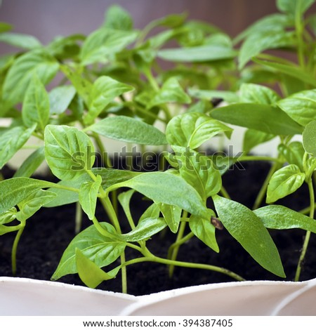 Pepper seedlings.Selective focus - stock photo