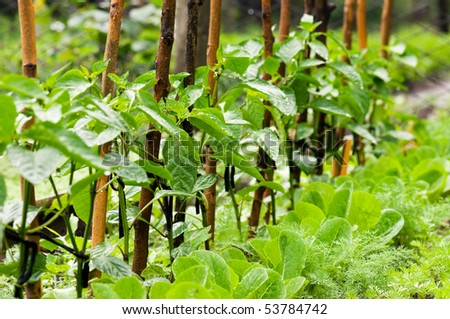 Pepper sprouts in garden with rain drops - stock photo