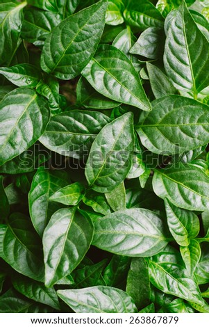 Pepper young plant seedlings organic food as a result of organic farming organically-produced, natural and healthy. - stock photo
