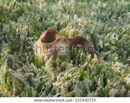 Peppered moray eel (Gymnothorax griseus) swimming at the sea grass underwater - stock photo