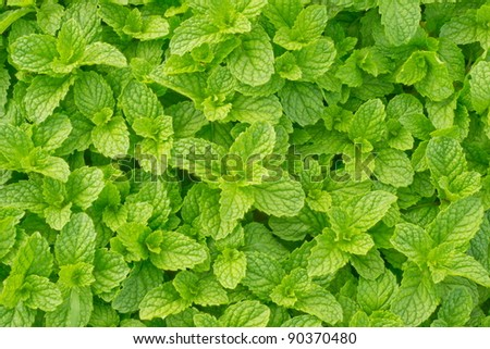 peppermint - stock photo