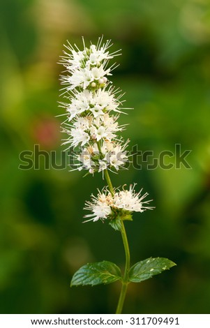Peppermint flowers. Mentha spicata. - stock photo