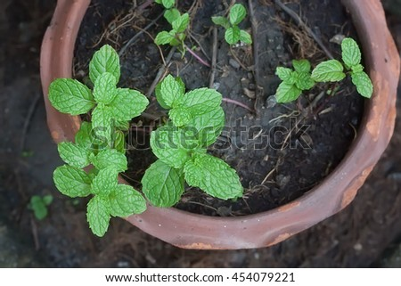 peppermint herb in potted.selective focus