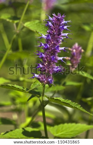 peppermint plant flower - stock photo
