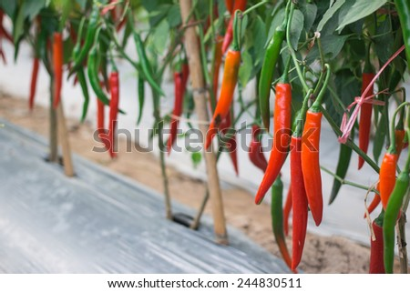 Peppers in the garden - stock photo