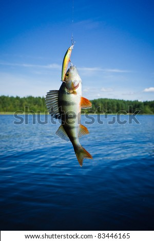 perch caught in the lure on the background of the lake - stock photo