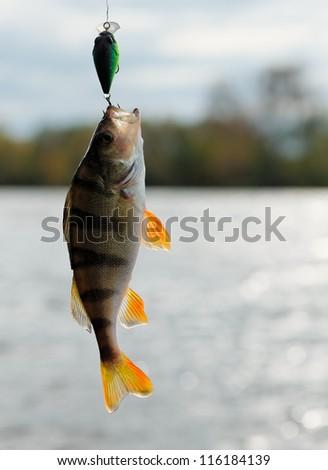 Perch caught on plastic lure, back light - stock photo